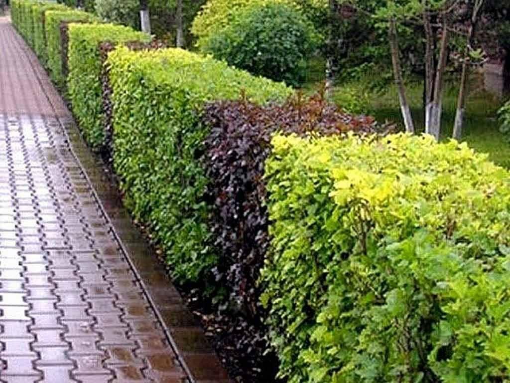 Живая изгородь на даче своими руками: посадка, уход, стрижка, как вырастить