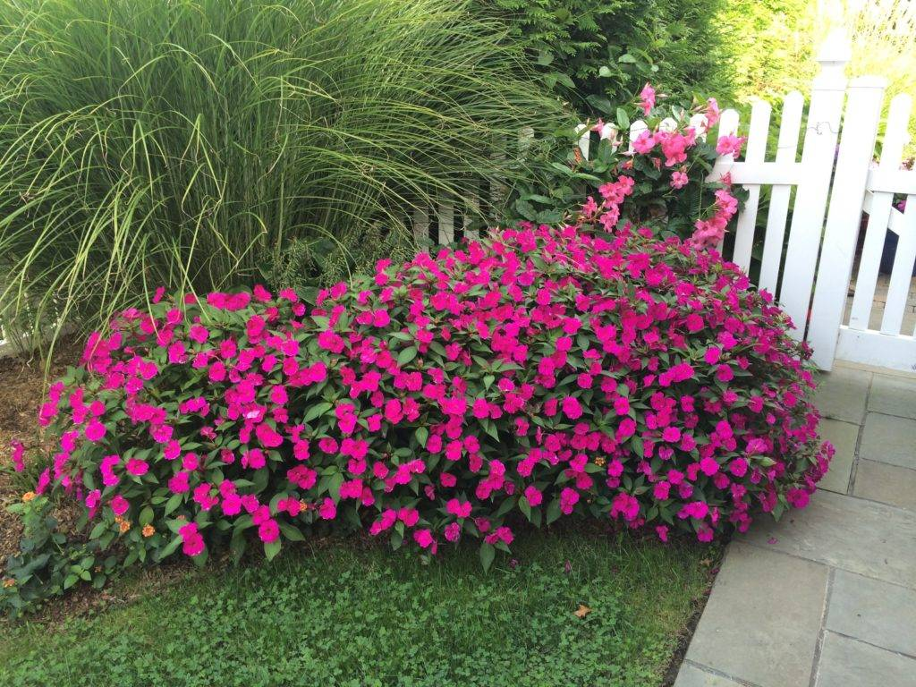 Бальзамин садовый: посадка и уход фото сорта когда сеять семена видео