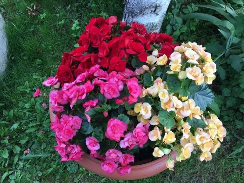 Бегония садовая: выращивание, посадка и уход в открытом грунте