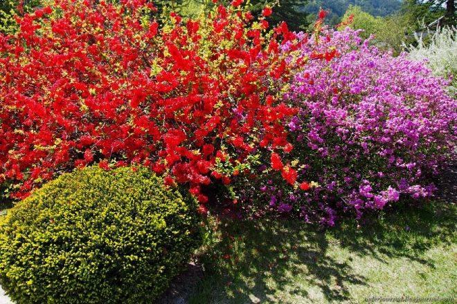 """Японская айва: как посадить и вырастить кустарник - проект """"цветочки"""" - для цветоводов начинающих и профессионалов"""