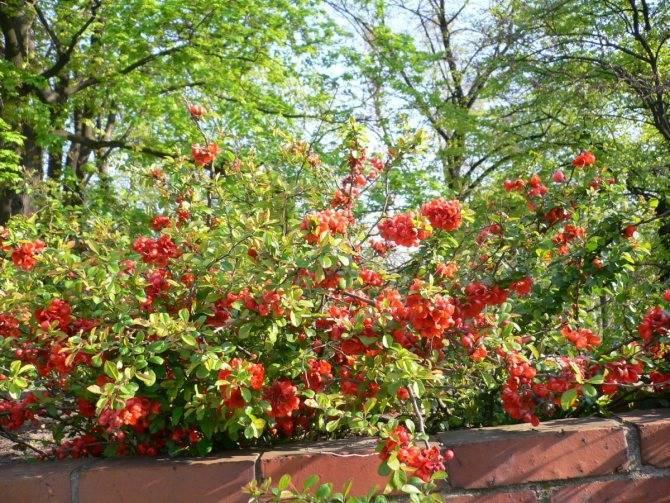 Айва японская – украшение декоративного сада: агротехника, посадка и правильный уход за культурой