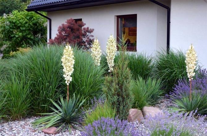 Юкка садовая: посадка и уход в открытом грунте, фото, пересадка растения