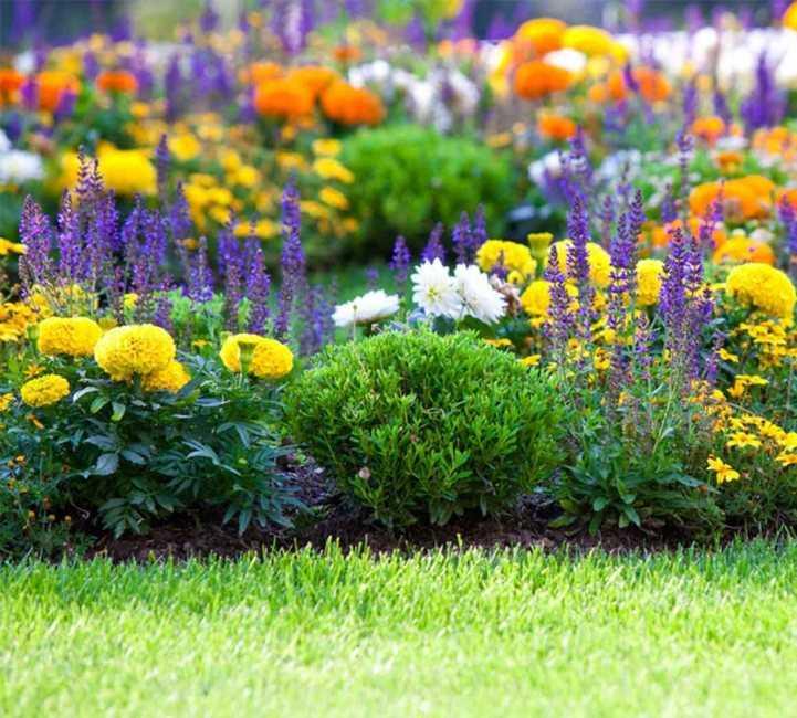 Оформление бархатцев на клумбе в саду с другими цветами