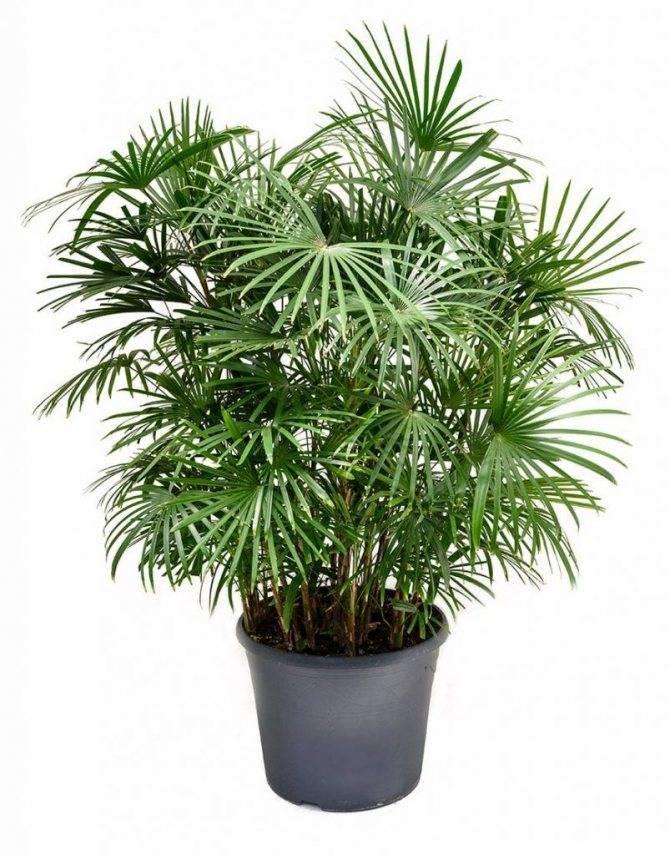 Комнатные пальмы (46 фото): бетелевая и гавайская, винтовая и другие домашние растения, похожие на пальмы, уход