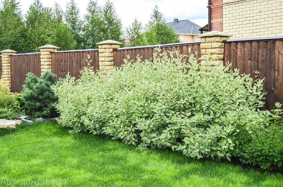Живая изгородь (167 фото): быстрорастущие многолетние вечнозеленые растения, кизильник блестящий