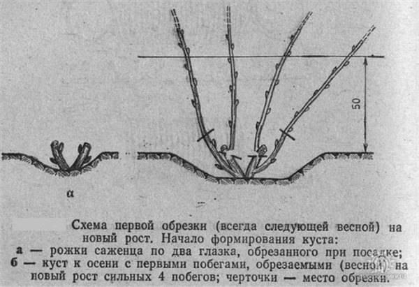 Спирея. посадка, размножение, уход, сорта, фото на supersadovnik.ru