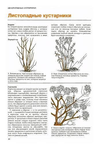 Спирея: размножение черенками весной, летом и осенью