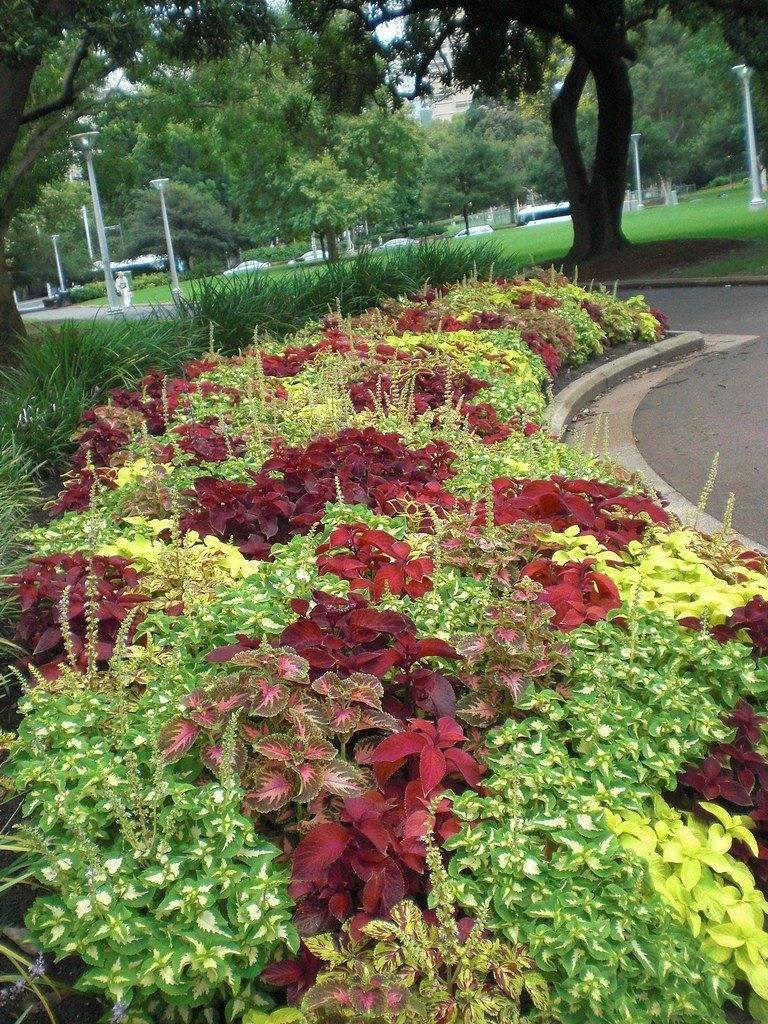 Как вырастить колеус в саду