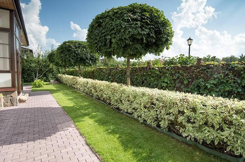 Живая изгородь на даче своими руками - пошаговая инструкция!