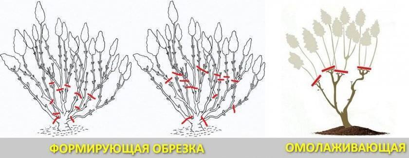 Спирея дугласа (33 фото): описание, посадка и уход. обрезка и применение в ландшафтном дизайне