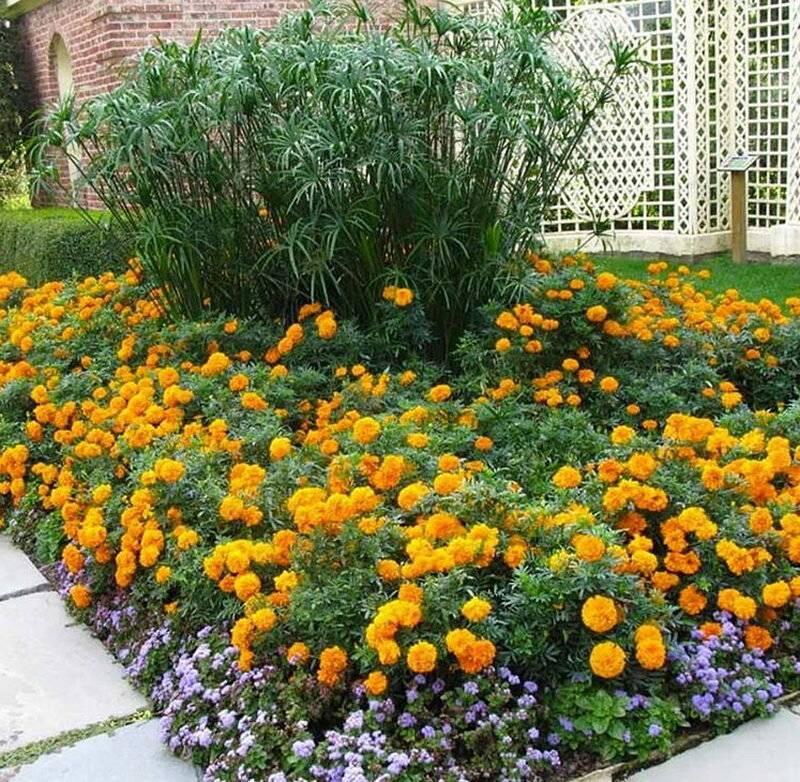 Клумбы из бархатцев (21 фото): идеи для оформления клумб на даче и в саду. с какими другими цветами сочетаются бархатцы? красивые примеры