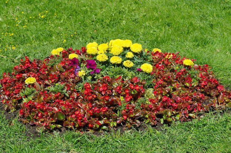 Бегония садовая: посадка и уход в открытом грунте
