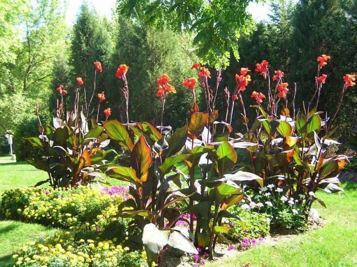 Цветок канна – посадка и уход в открытом грунте, выращивание канны садовой   мир садоводства