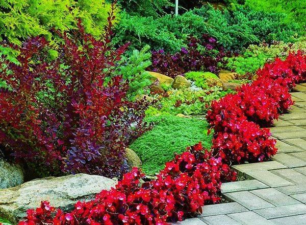 Живая изгородь из барбариса: сорта, уход и возможные сложности