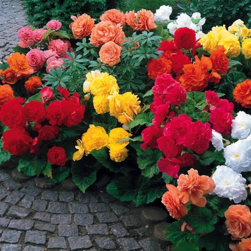Бегония садовая - описание растения и уход за ним