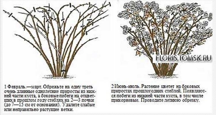 Размножение спиреи семенами