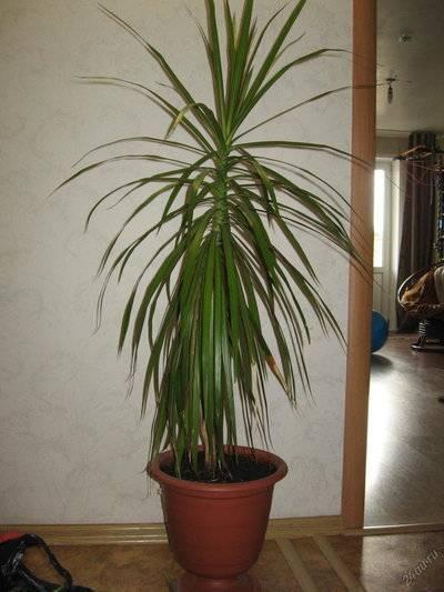 Комнатные пальмы: их разновидности с фото и названиями
