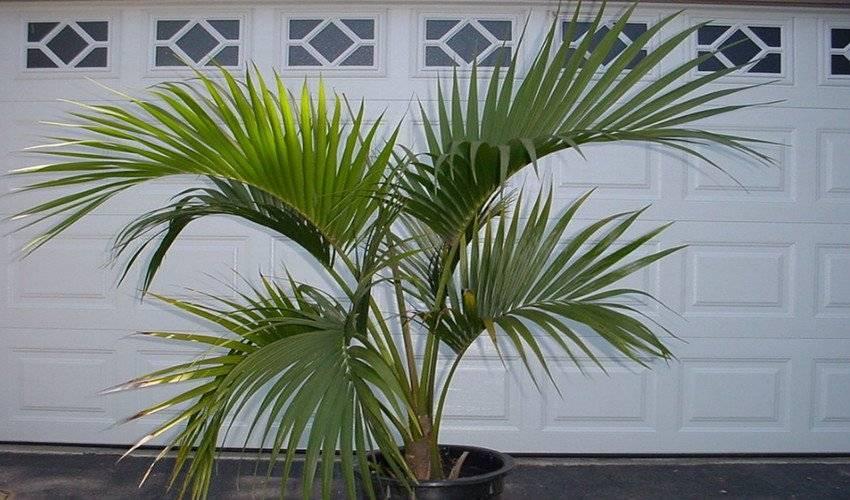 Комнатная пальма — виды и уход