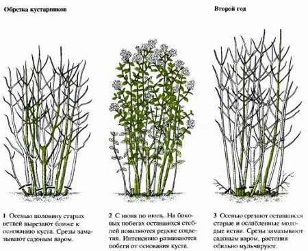 Размножение спиреи семенами описание и фото на supersadovnik.ru