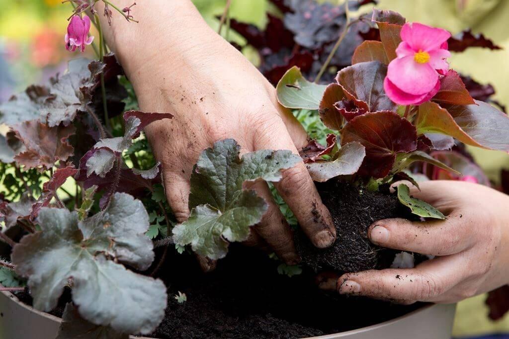 Бегония уход и выращивание в домашних условиях