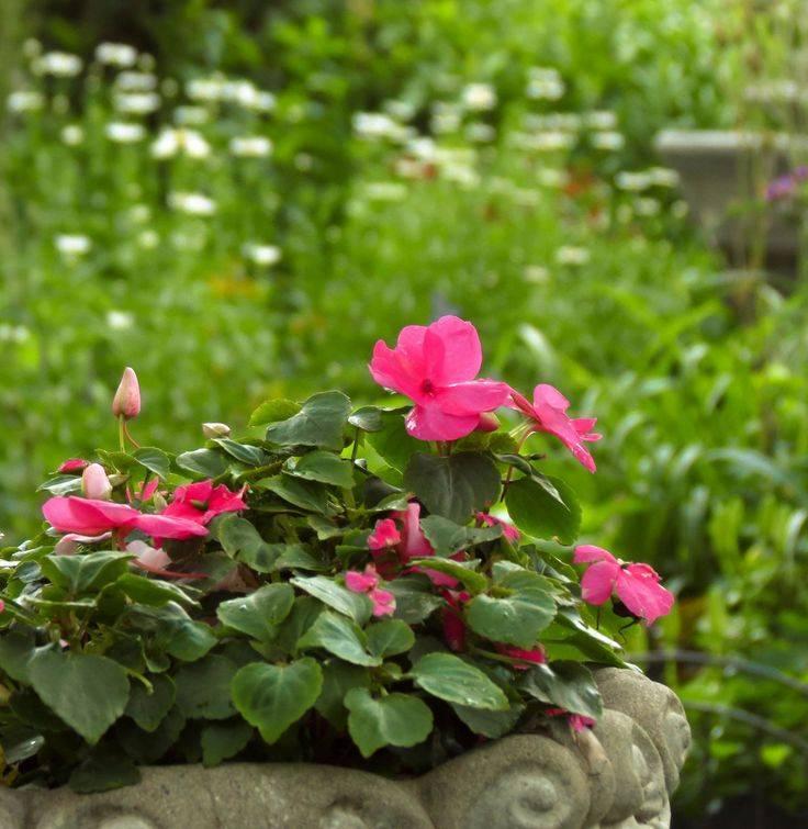 Бальзамин садовый — посадка и уход за травянистым растением ?