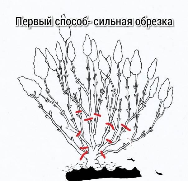 Спирея дугласа: описание, посадка, уход и размножение