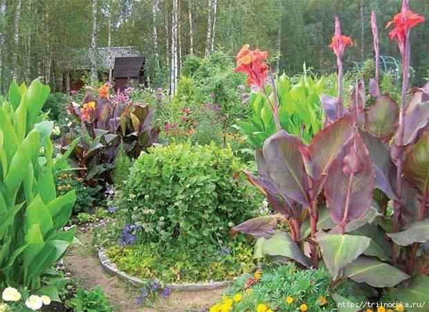 Как правильно выращивать канну в саду и на окне?