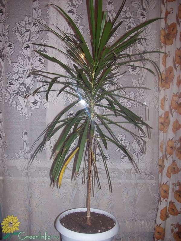 Разновидности домашней пальмы с названиями, описаниями и фото + советы по уходу и особенности применения в интерьере
