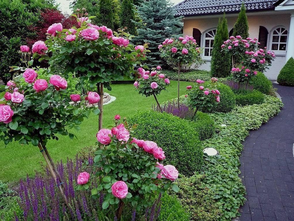 Розы в ландшафтном дизайне: 80 фото, преимущества и недостатки