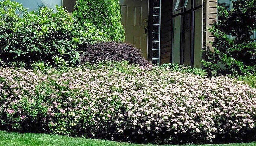 Японские спиреи (spiraea japonica): голден принцесс, литл принцесс, голдфлейм