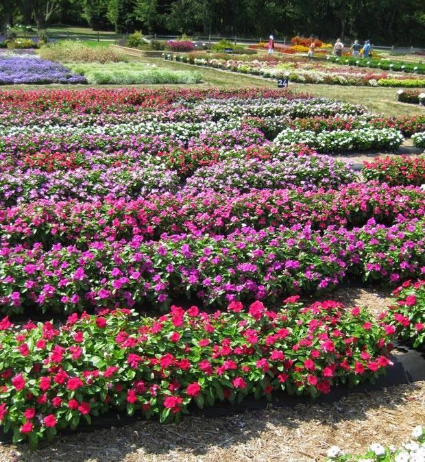 Правильная посадка садового бальзамина в открытый грунт и секреты ухода за ним. советы садоводов - райский сад