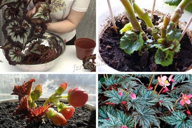 Размножение бегонии (21 фото): как размножается бегония в домашних условиях? как правильно рассадить и укоренить растение?