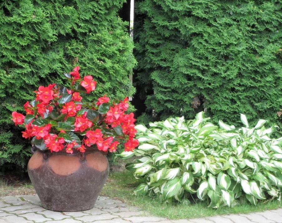 Бегония садовая (31 фото): посадка многолетнего уличного растения и выращивание цветов на клумбе