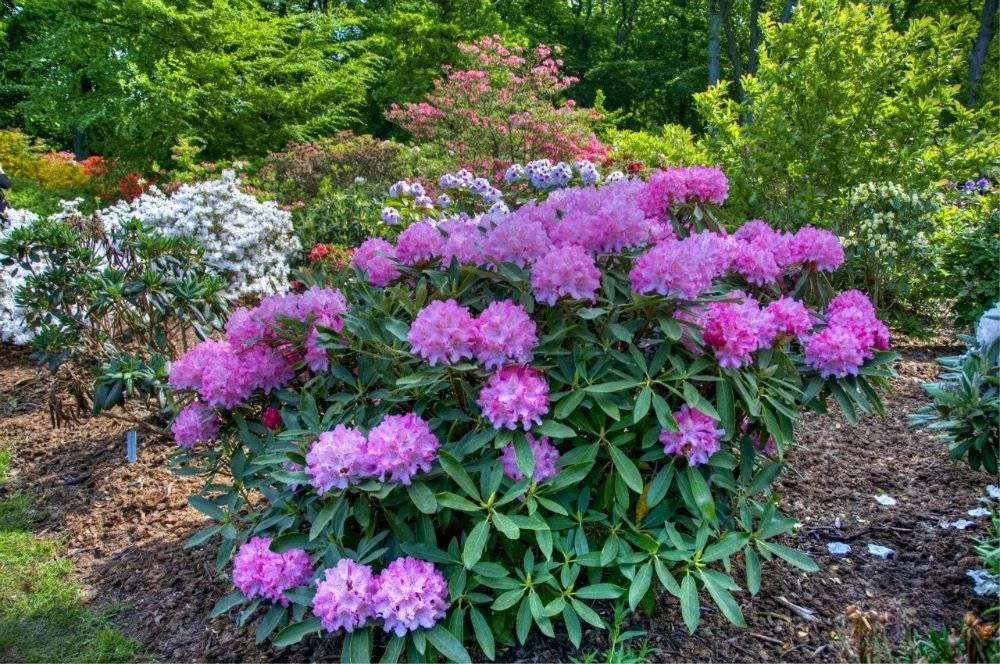 Многолетние цветущие кустарники для сада и огорода: названия и фото