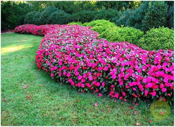 О бальзамине садовом в ландшафтном дизайне — посадка и уход