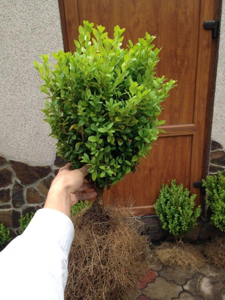 Как выращивать самшит в комнатных условиях? фото — ботаничка.ru
