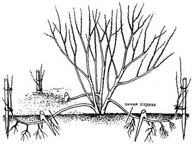 Агротехника посадки спиреи: как подобрать место и почву. правильный уход за спиреей: размножение, полив, подкормки и обрезка - автор екатерина данилова - журнал женское мнение