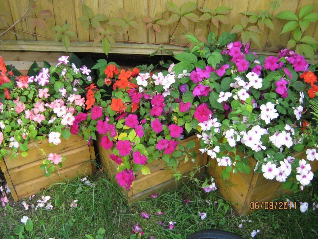 Самое интересное о «нетерпеливом» цветке: описание, фото и рекомендации по посадке и уходу за садовым бальзамином