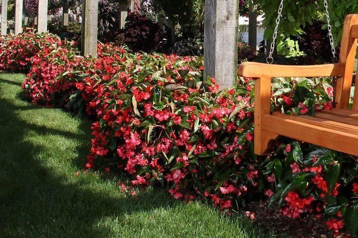 Бальзамин садовый — посадка и уход за травянистым растением
