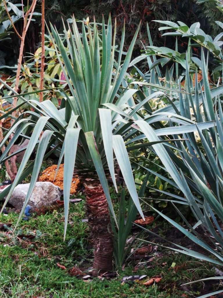 Юкка на клумбе с чем сочетается. юкка садовая посадка и уход фото цветения. юкка нитчатая: выращивание, уход и размножение. видео