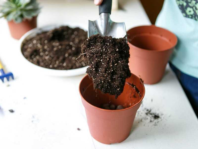 Как вырастить бегонию из семян в домашних условиях?