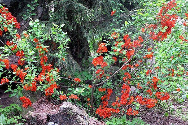 Японская айва или хеномелес (chaenomeles): фото в ландшафтном дизайне, как выглядит и цветёт кустарник, описание дерева и его плодов