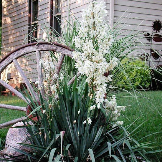 Юкка садовая: посадка и уход (фото), болезни, размножение