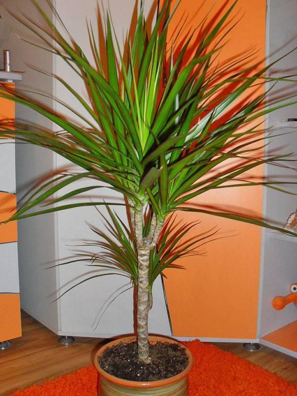 Комнатная пальма: виды, названия, правила ухода и фото - sadovnikam.ru