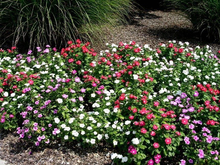 Бальзамин садовый: посадка и уход, фото сортов растения для открытого гоунта