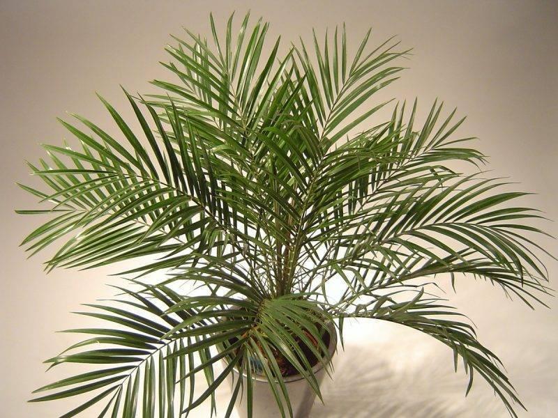 Комнатные пальмы: размножение и уход, названия видов и фото