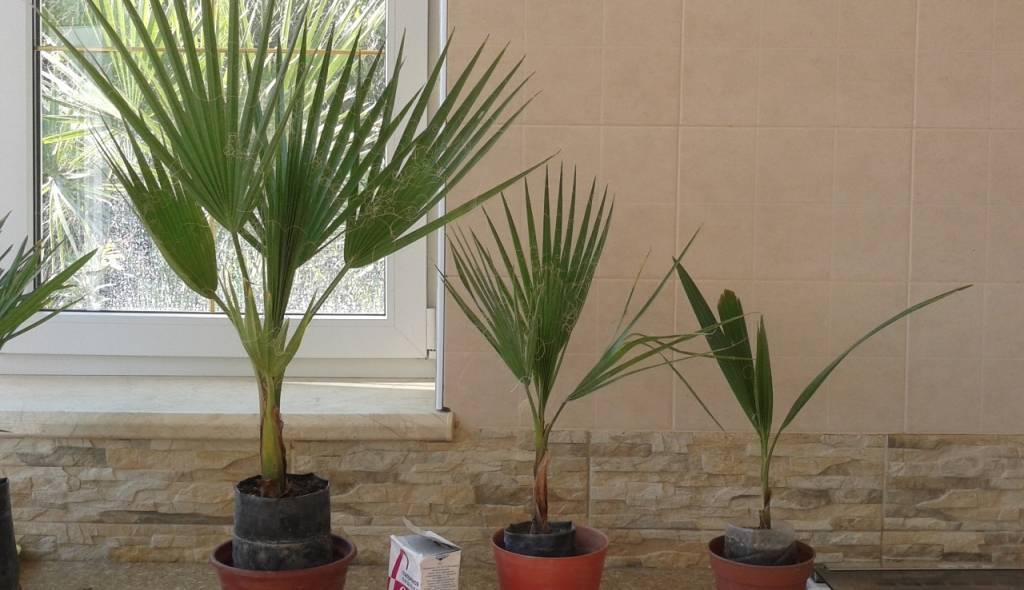 Разновидности комнатных пальмовых цветов