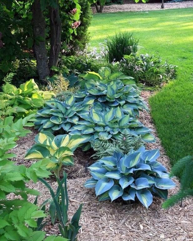 Хосты – изумительные растения для тенистых уголков сада