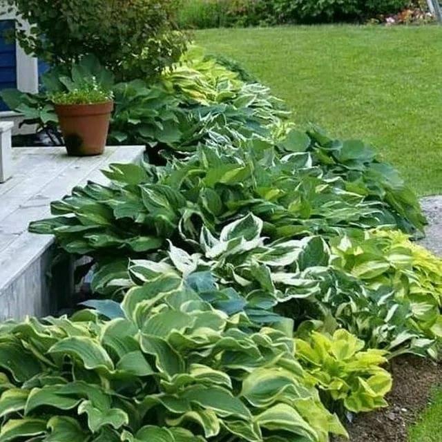 Сочетание цветов с хостами в ландшафтном дизайне сада