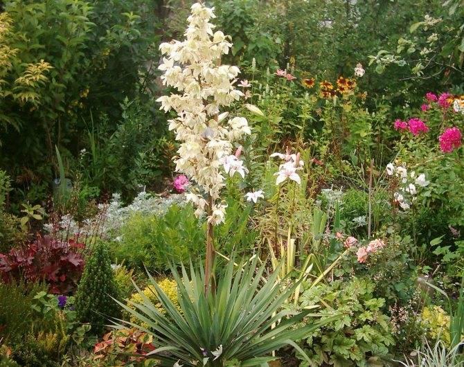 Юкка садовая - 68 фото новых многолетних идей для вашего сада